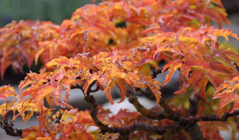 Japanese maple autumn colours in Frederikshavn